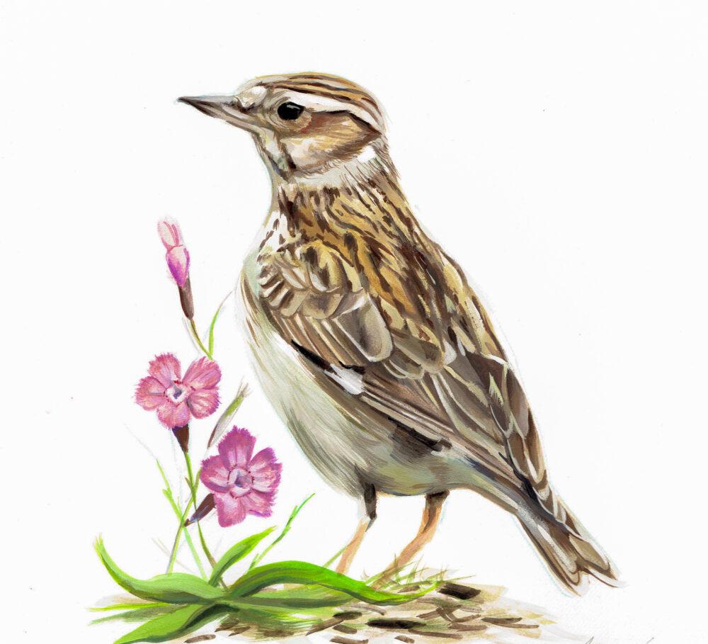 Art Study of a Woodlark - Gouache Painting