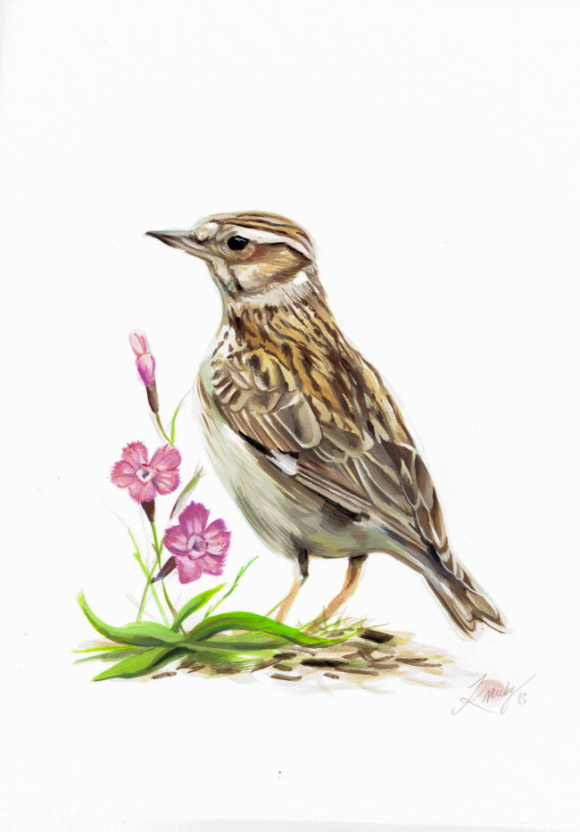 Art Study of a Woodlark - Gouache Painting