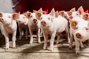swineweb.com talks Danish Genetics and Roslin Technologies' involvement