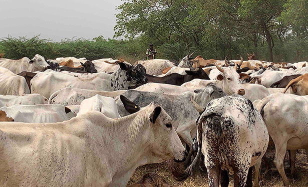 Cattle farming in Africa