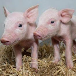 ARK Pigs