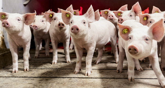 Danish Genetics pigs