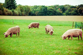 Roslin Technologies invests in cutting-edge stem cells project to thwart deadly pig diseases