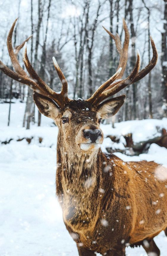Beautiful reindeer wallpaper