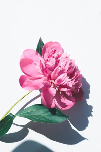 Pink peony summer wallpaper background