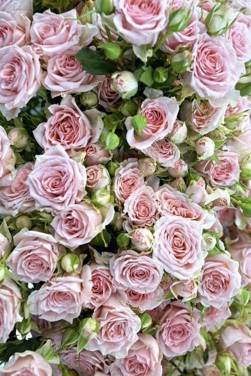 Pink roses wallpaper background for iPhone