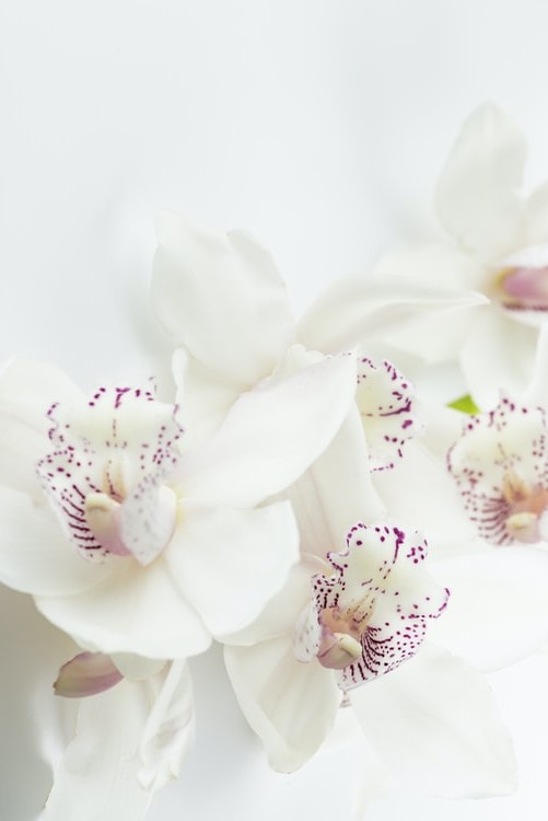 White orchid wallpaper aesthetic background