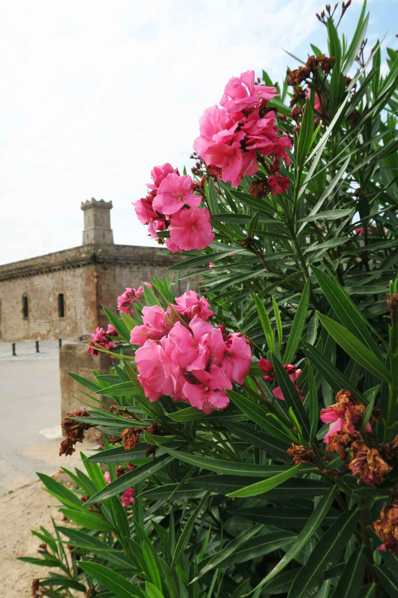 pink flowers in front of Montjuic Castle in Barcelona, Spain