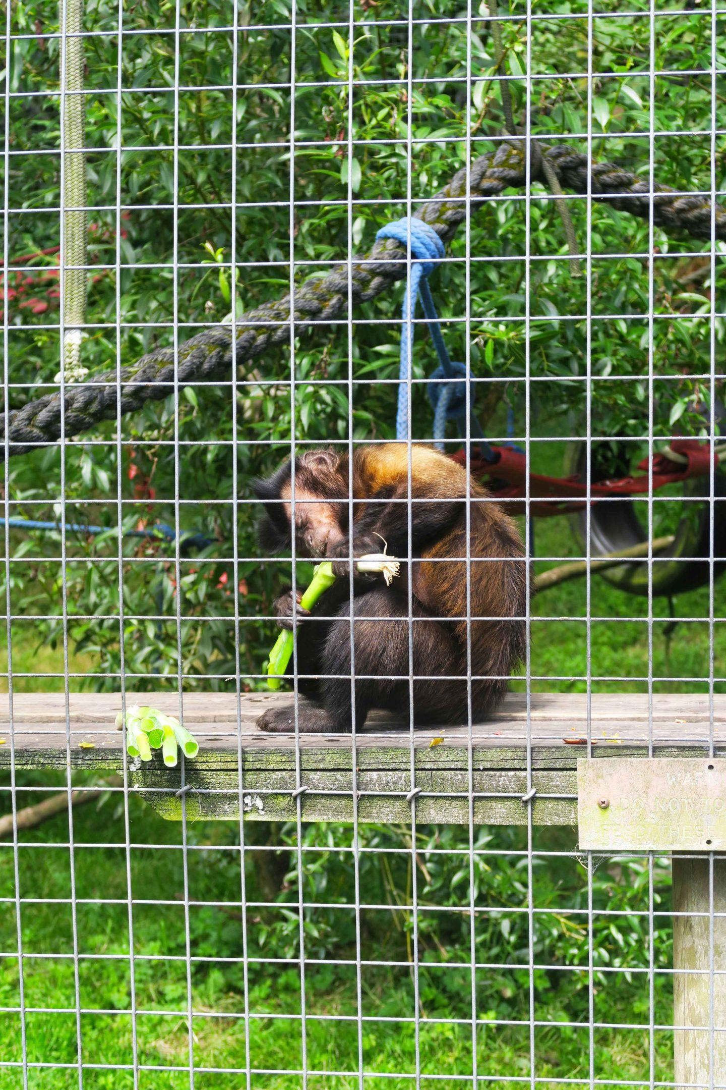 capuchin with leek in looe monkey sanctuary in cornwall