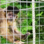 capuchin monkey in a cage in the monkey sanctuary located in looe, cornwall