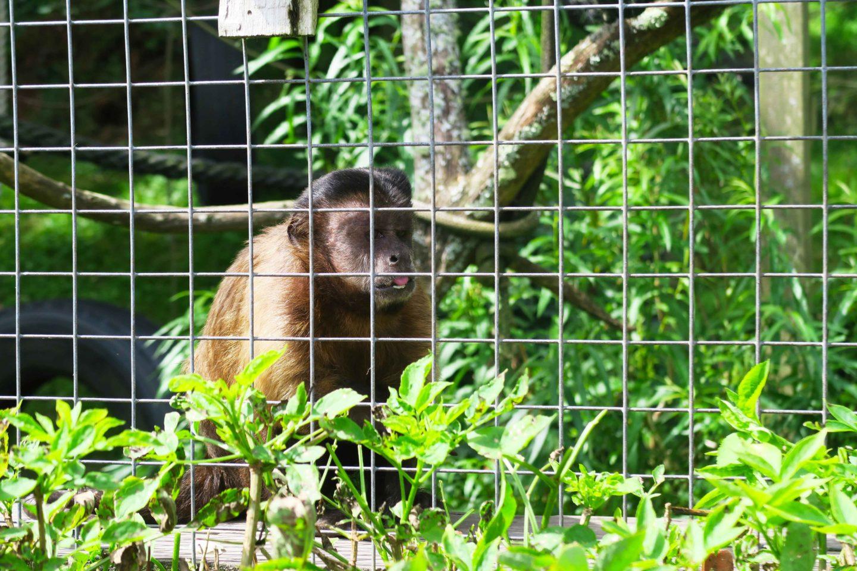 capuchin monkey in looe monkey sanctuary in cornwall