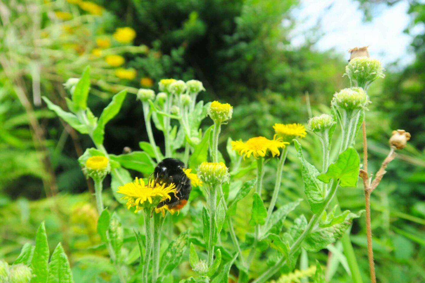 orange tailed bee on a yellow flower at looe monkey sanctuary