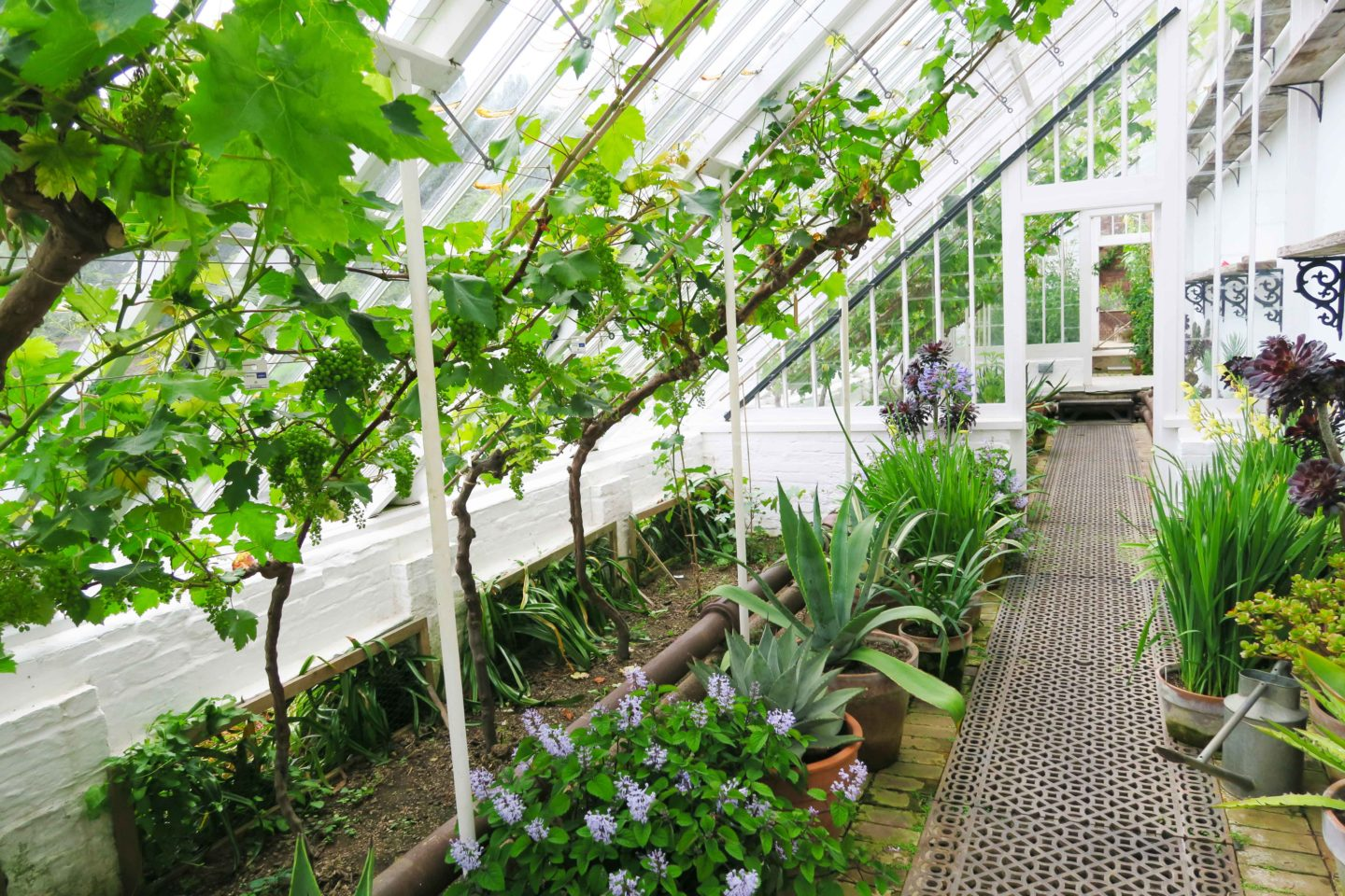 white greenhouse with vines and plants in the lost gardens of heligan in cornwall