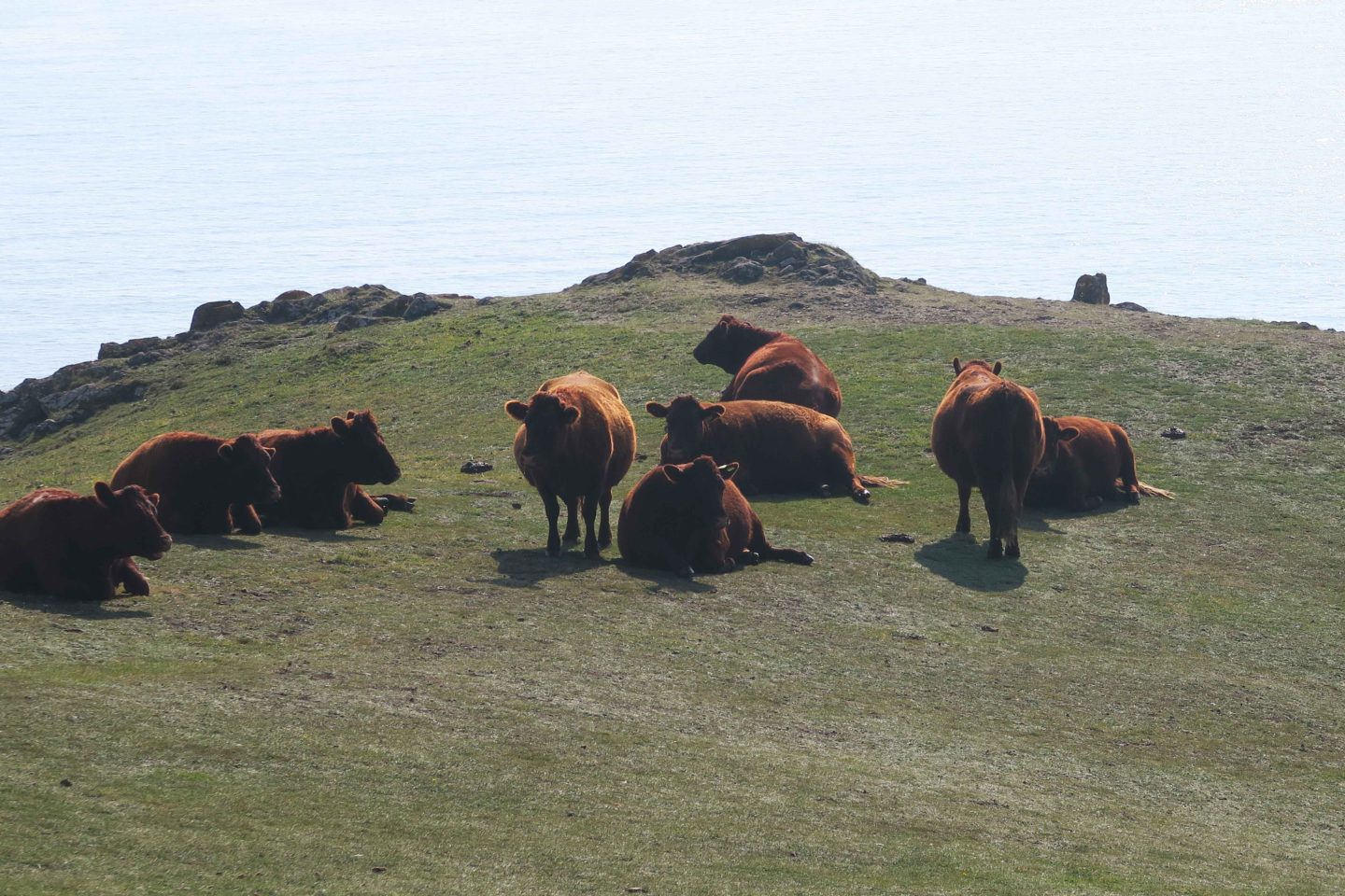 brown cows on the headland at kynance cove in cornwall