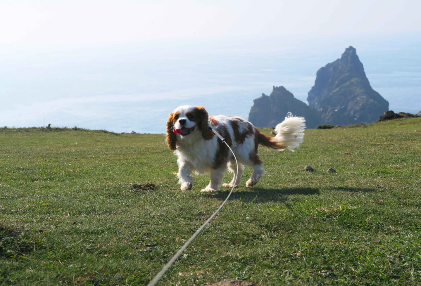 cavalier king charles spaniel dog on lead overlooking kynance cove in cornwall