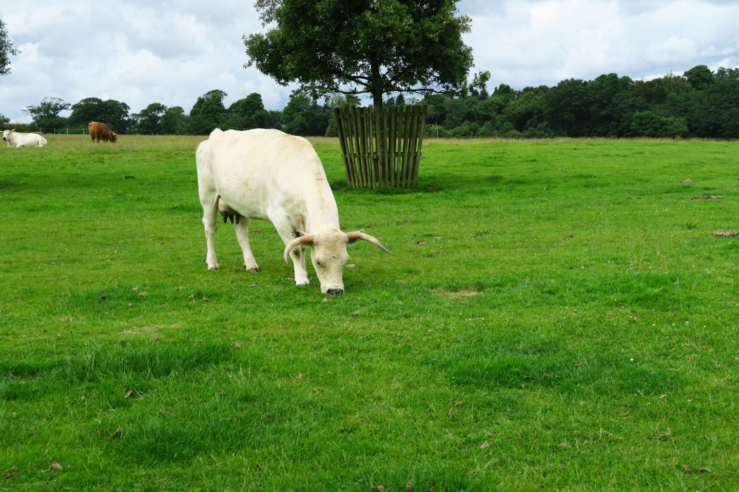 the lost gardens of heligan white cow with horns grazing in a field