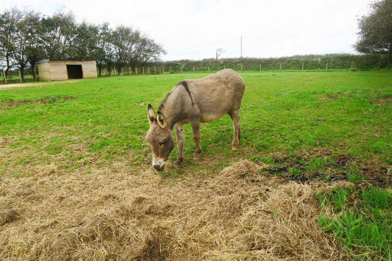 donkey in trevaskis farm in cornwall