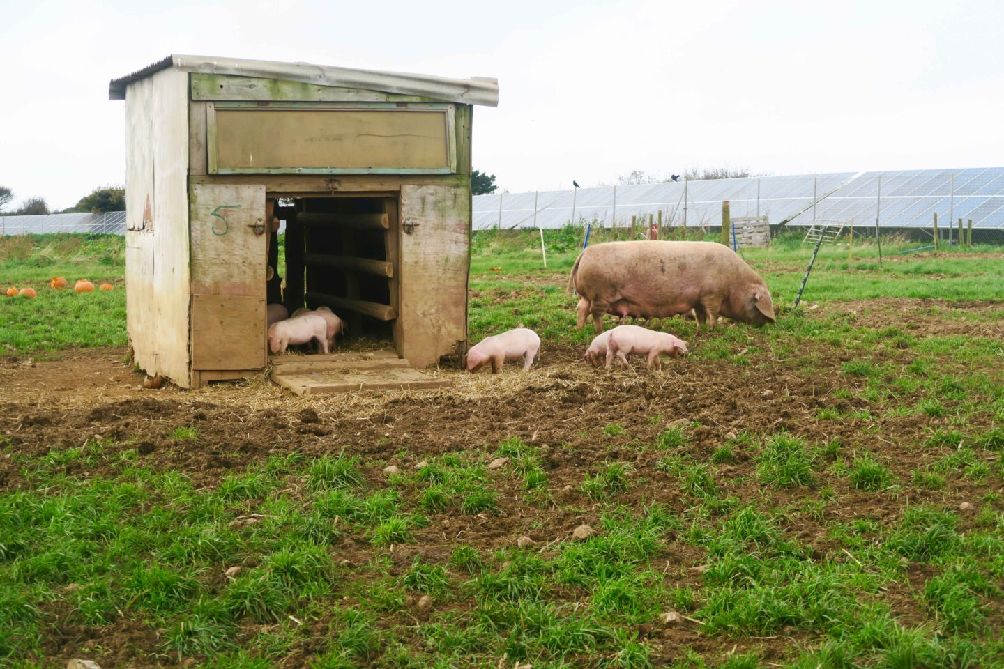 pigs and piglets at trevaskis farm