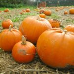 pumpkins picking at trevaskis farm in cornwall