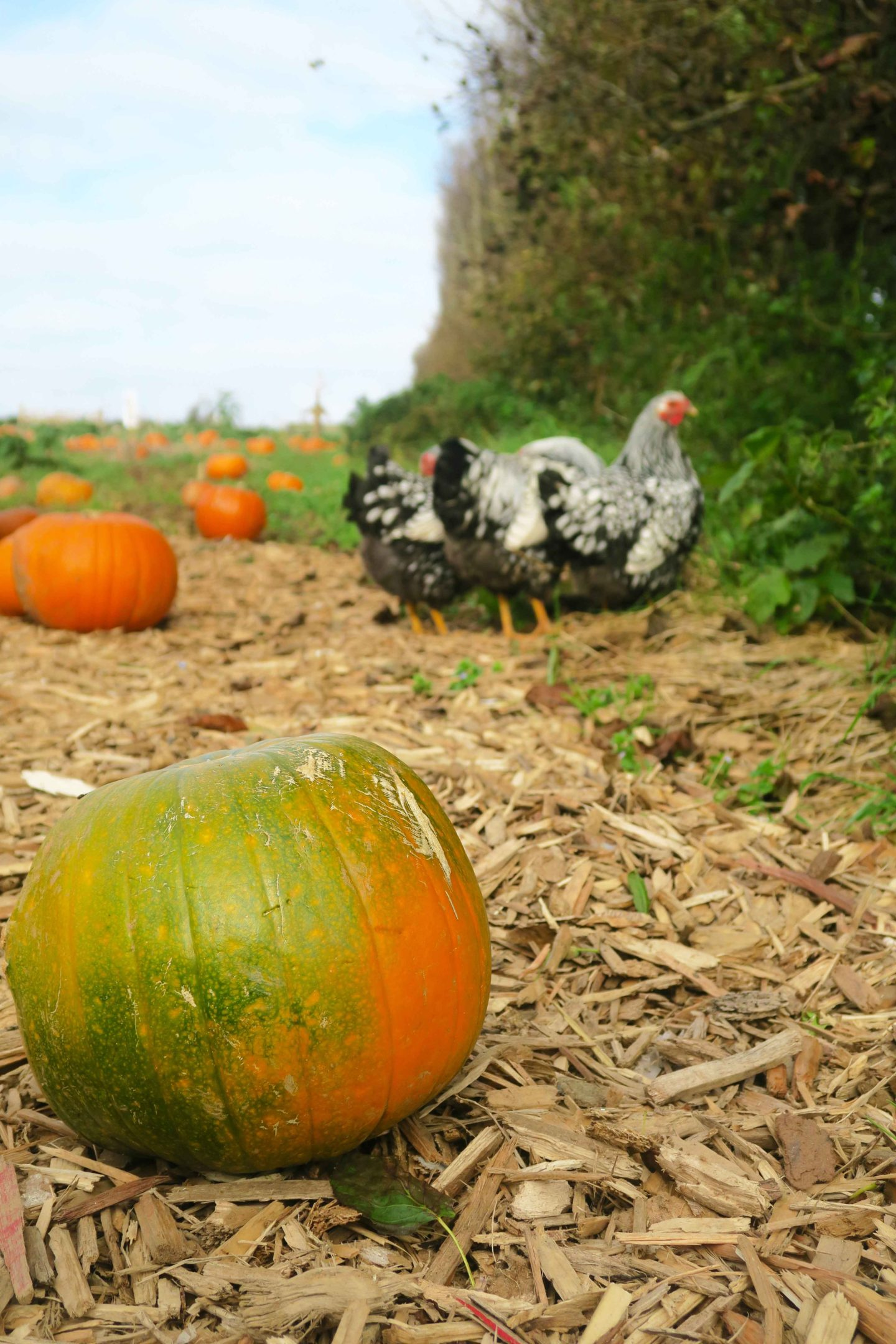 pumpkins on farm with chickens at trevaskis in cornwall