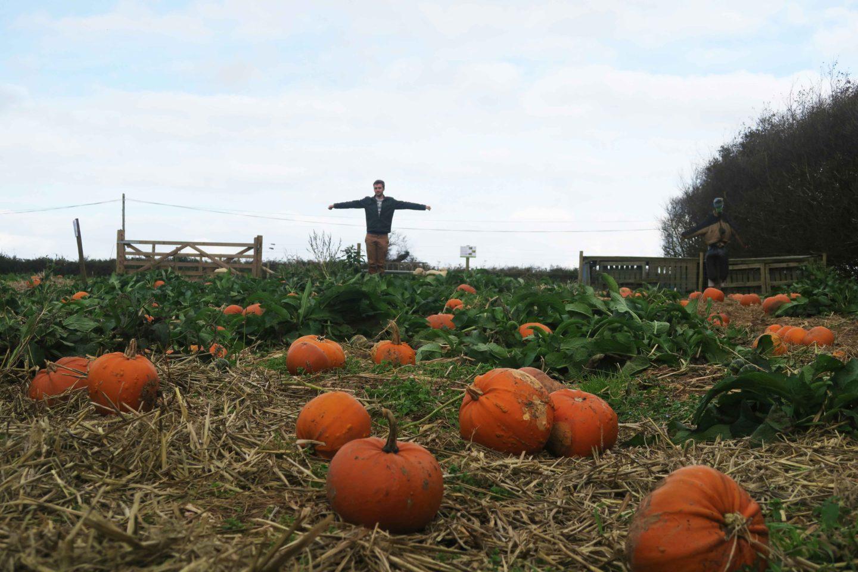 pumpkins on farm with man scarecrow at trevaskis
