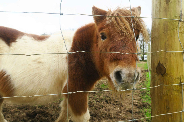 shetland pony on travskis farm in cornwall