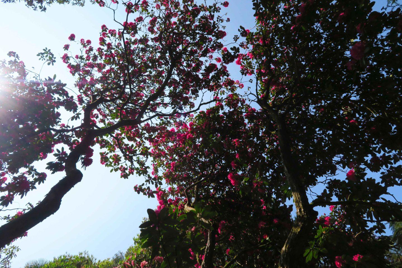 trebah gardens pink flowers and blue sky in cornwall