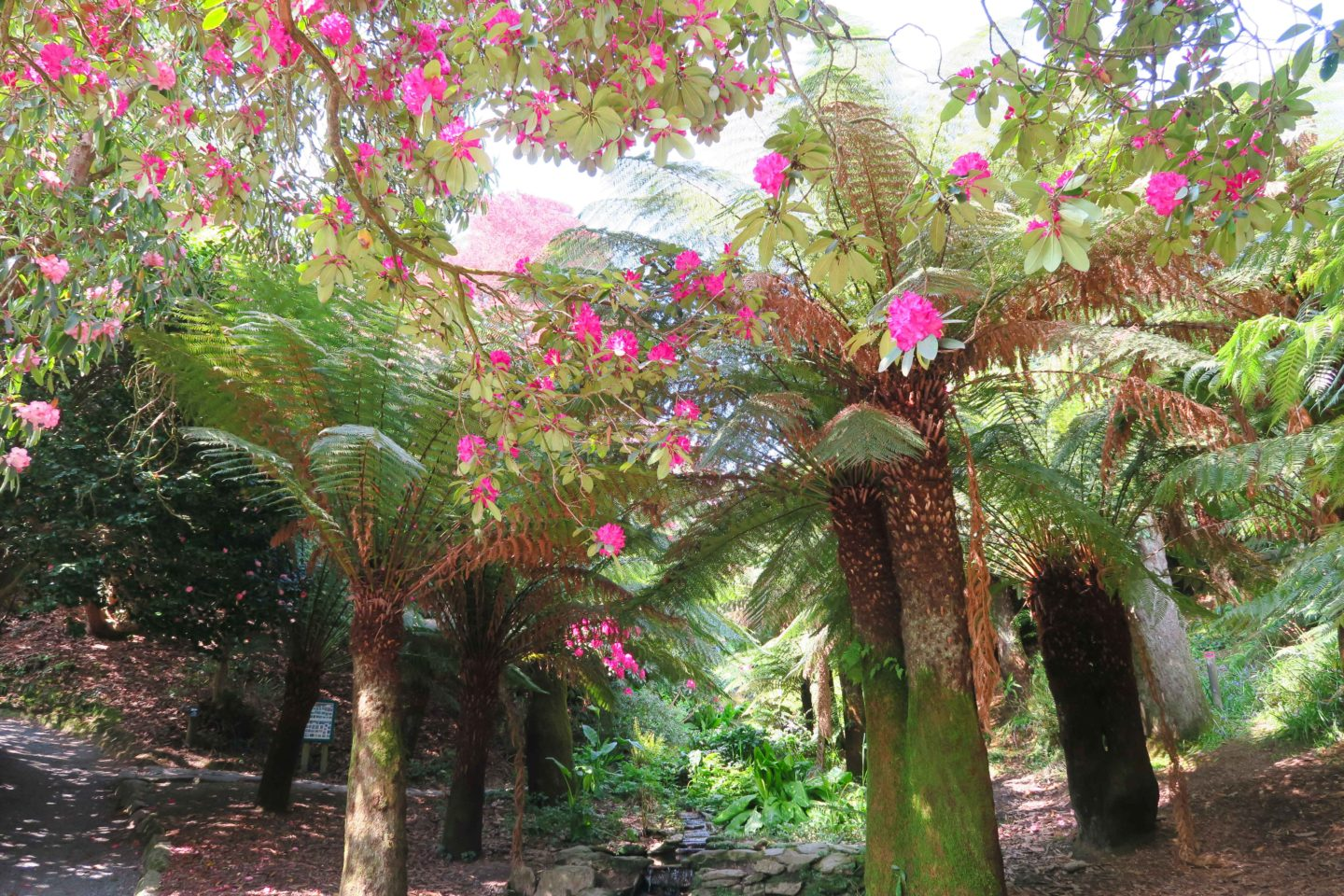 trebah gardens trees and pink flowers in cornwall