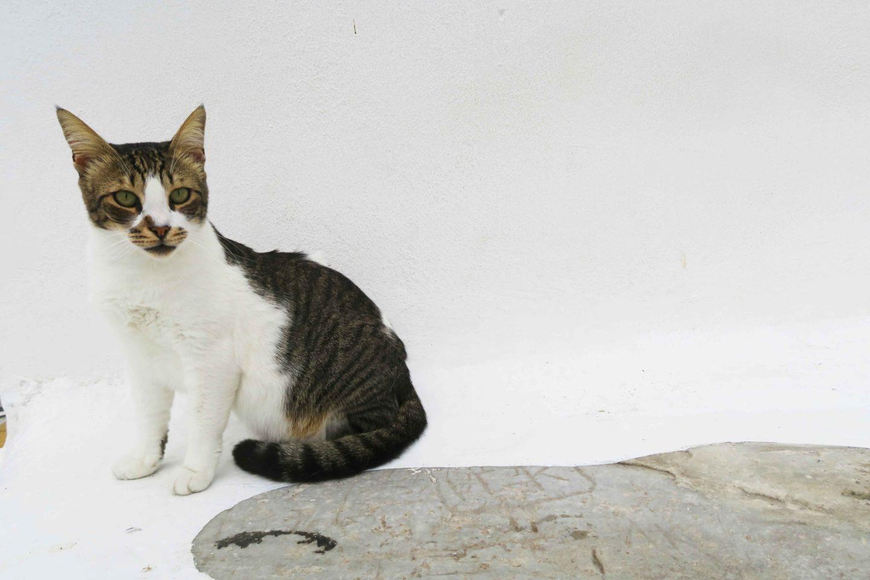 tabby cat sitting on white wall in mykonos town in greece