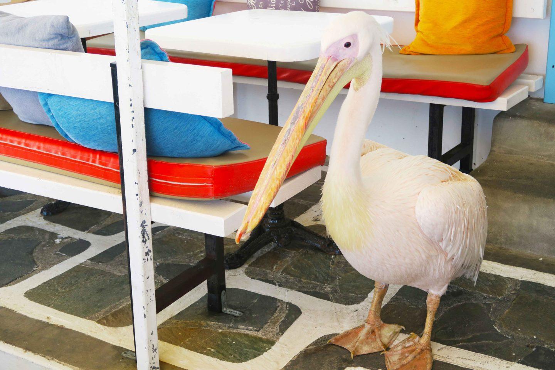 famous pelican in mykonos town in greece