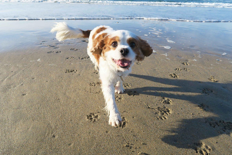 perranporth beach cavalier king charles spaniel