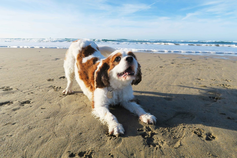 perranporth beach cornwall dog
