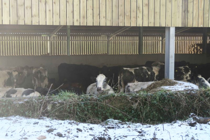 beast from the east cows