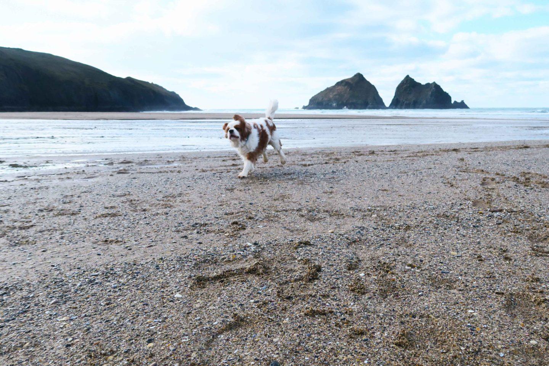 holywell bay dog running on beach