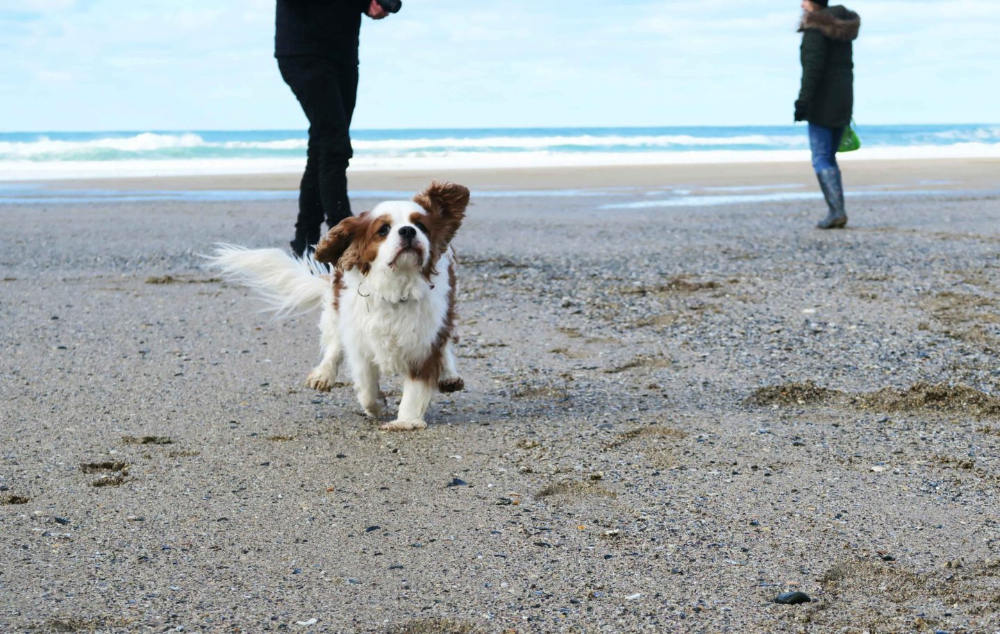 holywell bay dog running on beach with people