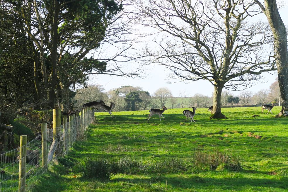 mount edgcumbe deer jumping fence in cornwall