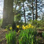 trelissick gardens daffodils