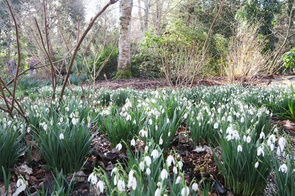 trelissick gardens snow drops