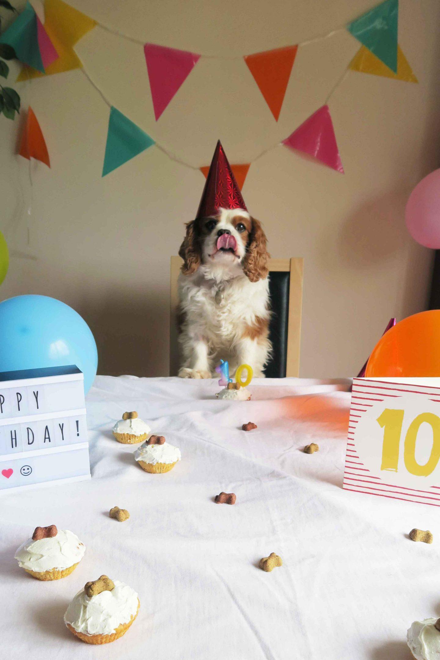 cavalier king charles spaniel wearing party hat