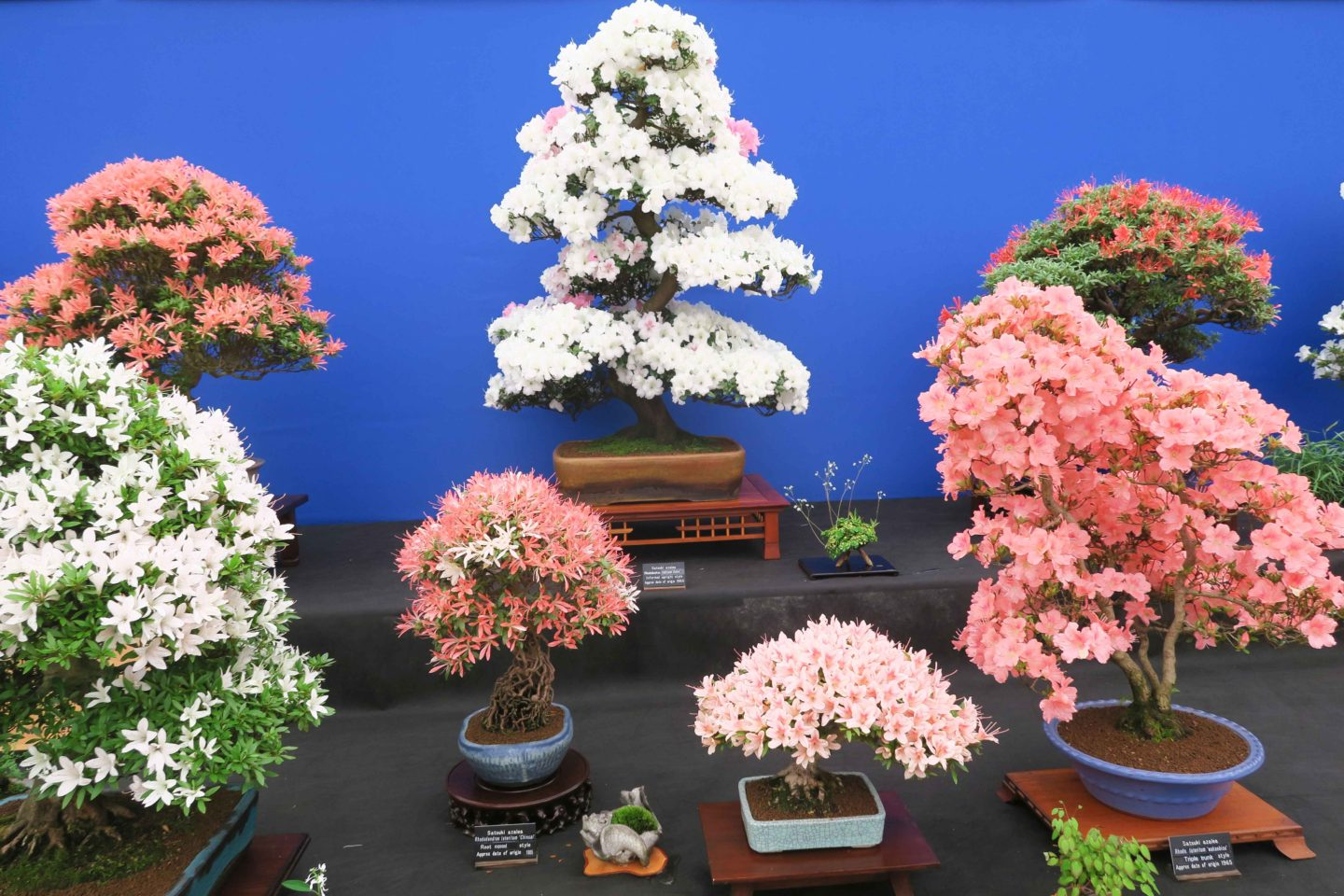 bonsai trees in the flower show tent