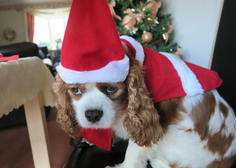 cavalier-in-santa-costume
