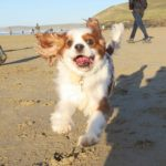 cavalier-running-on-beach