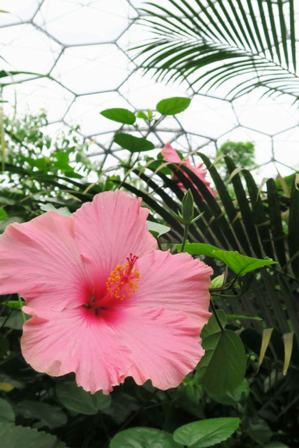 pink hibiscus flower at the eden project in cornwall