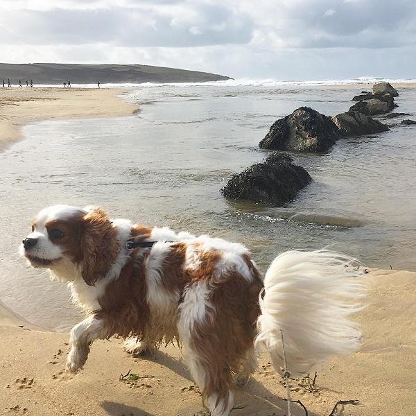 cavalier king charles on crantock beach in cornwall