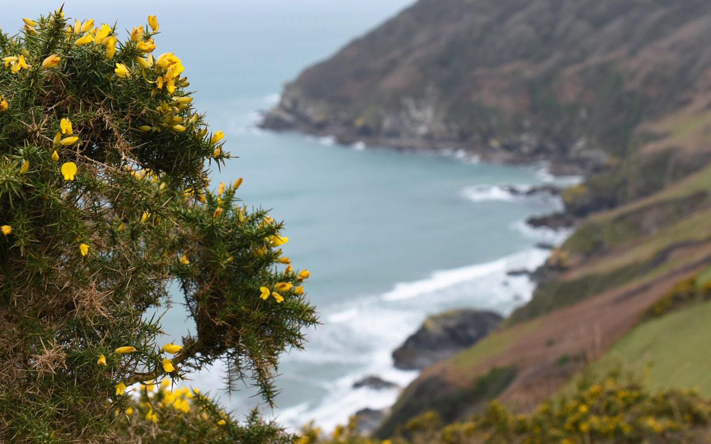 yellow gorse bush overlooking headland at lantic bay in cornwall