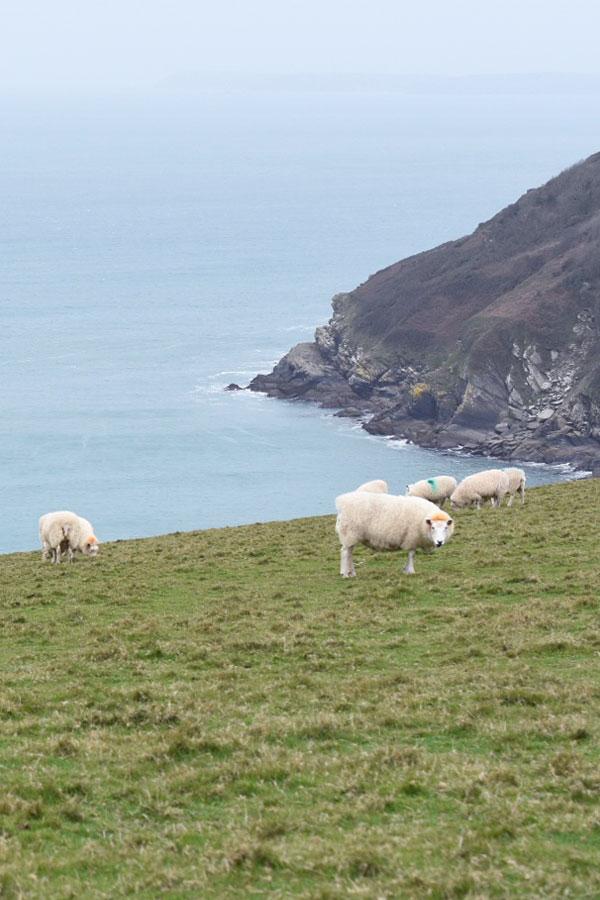 sheep on headland at lantic bay in cornwall