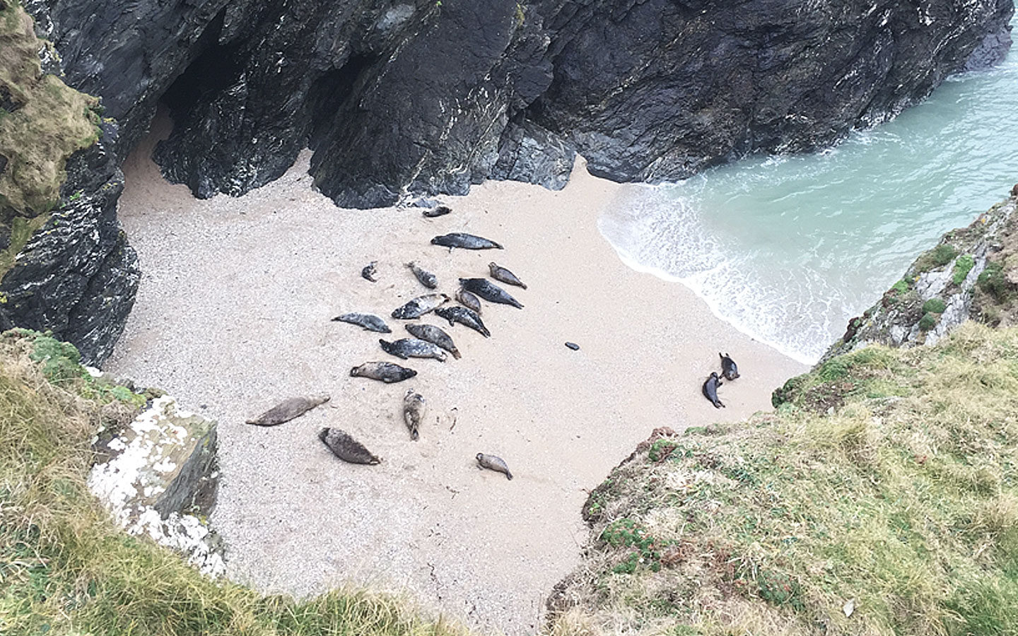 seals in cove at pollyjoke beach in cornwall