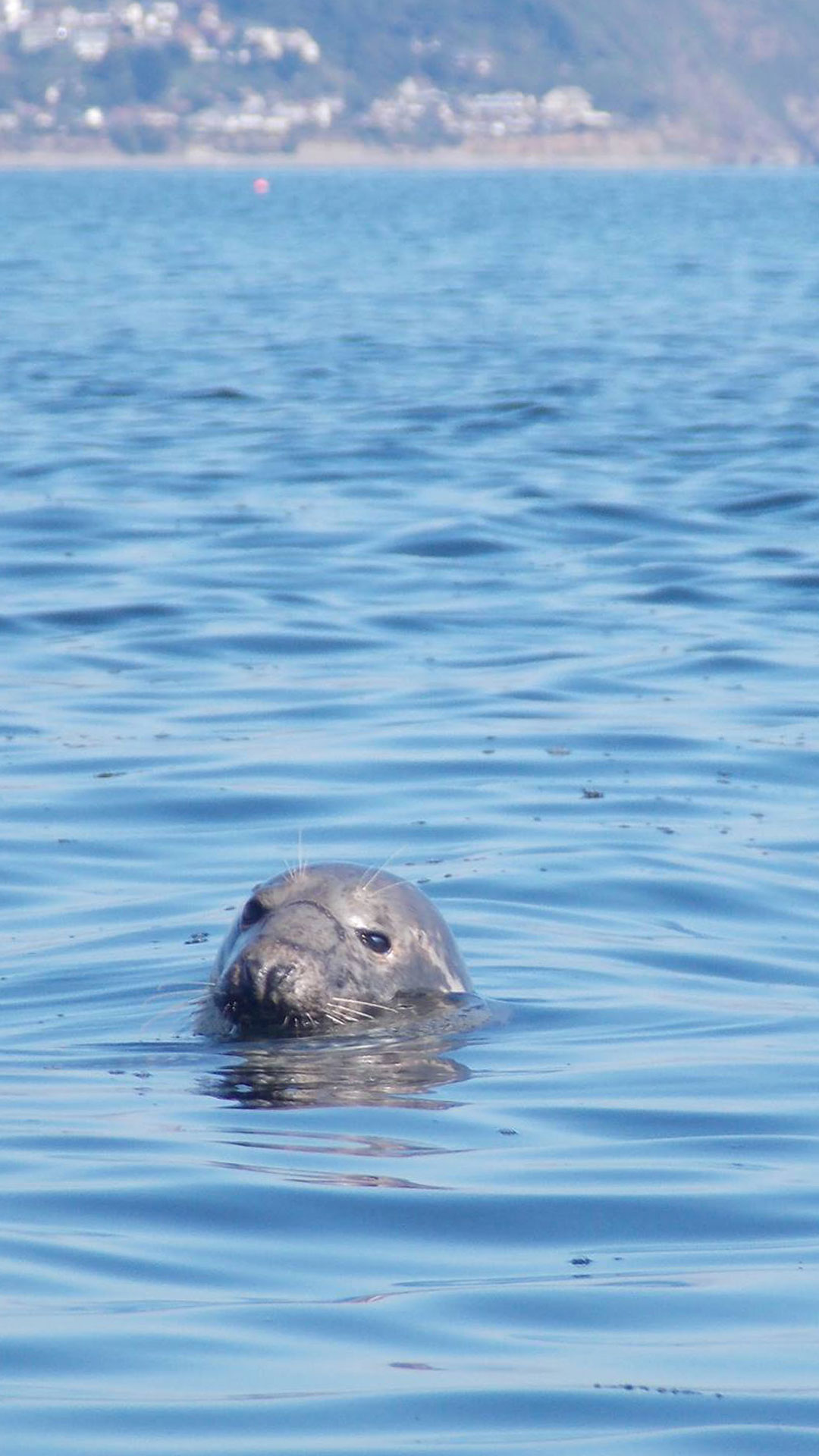 wild seal in the water in Looe in Cornwall