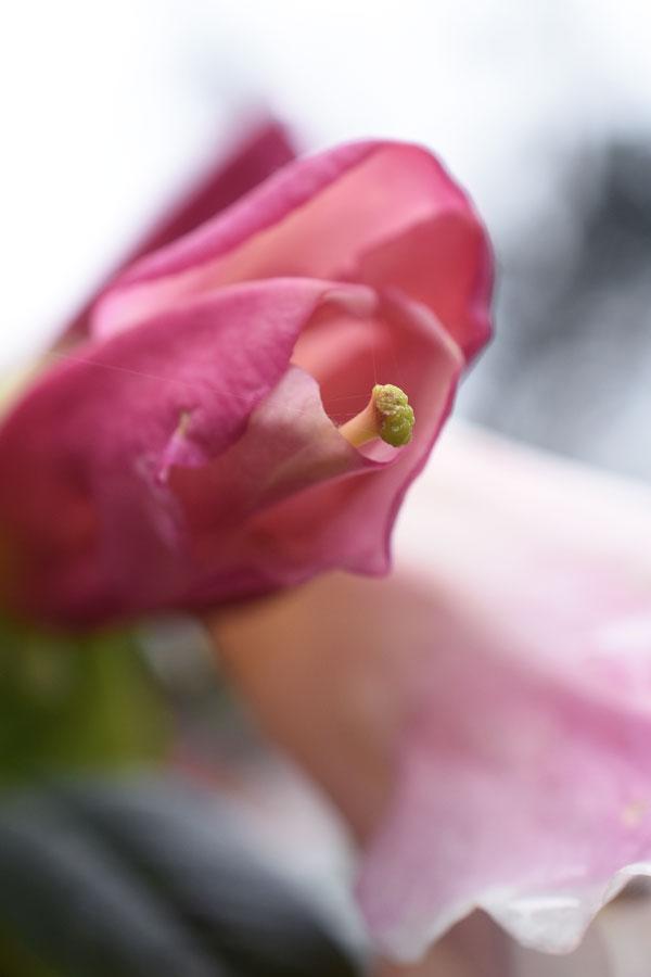 macr shot of pink flower at glendurgan gardens in cornwall