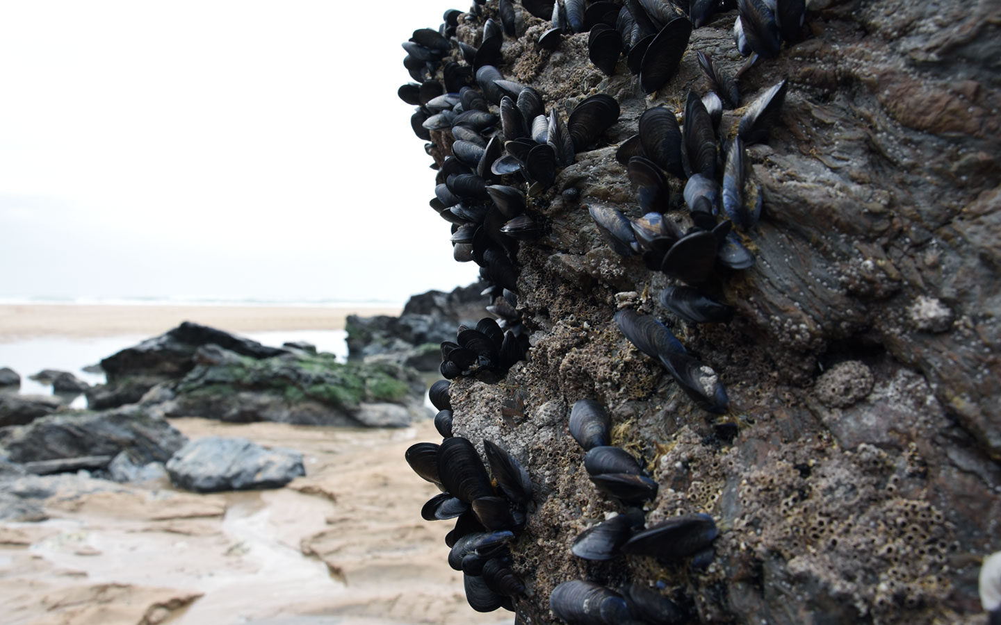 mussels on rock at bedruthan steps in cornwall